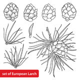 Vector set with outline European Larch or Larix. Leaf, pine, cones, seed and branch in black isolated on white background. Royalty Free Stock Image