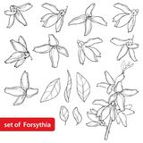Vector set with outline Forsythia flower, leaves and bunch  Royalty Free Stock Photo