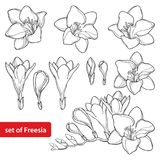 Vector set with outline Freesia flower bunch and ornate bud in black isolated on white background. Perennial fragrant plant. Vector set with outline Freesia vector illustration