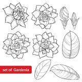 Vector set with outline Gardenia flower, ornate bud and leaves in black isolated on white background. Perennial tropical fragrant plant Gardenia in contour vector illustration