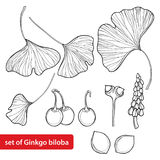 Vector set with outline Gingko or Ginkgo biloba tree. Leaf, fruit and flower isolated on white background. Royalty Free Stock Photos