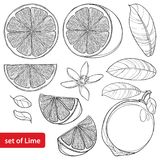 Vector set with outline Lime isolated on white background. Half and whole fruit, sliced pieces, leaf and Lime flower in black. Citrus tropical plant in contour vector illustration