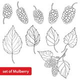 Vector set with outline Mulberry or Morus, bunch, ripe berry and leaves in black isolated on white background. Drawing of Mulberry in contour style for summer stock illustration