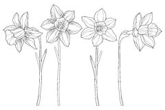 Vector set with outline narcissus or daffodil flowers in black isolated on white background. Floral elements for spring design. Royalty Free Stock Image