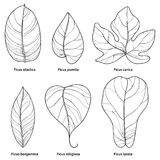 Vector set with outline ornamental Ficus leaf isolated on white background. Closeup Ficus ornate foliage in contour style. Royalty Free Stock Photography