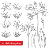 Vector set with outline Ornithogalum or Star-of-Bethlehem flower bunch, bud and leaves in black isolated on white background. Perennial bulbous plant in stock illustration