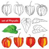 Vector set with outline Physalis or Cape gooseberry or Ground cherry fruit, leaf and berry isolated on white background. Perennial plant in contour style for vector illustration
