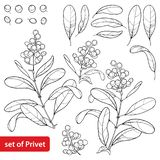 Vector set with outline poisonous plant Privet or Ligustrum. Fruit bunch, berry and ornate leaf in black isolated on white. Stock Illustration