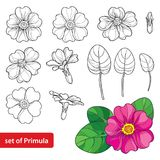 Vector set with outline Primula or Primrose flower, leaves and bud in black and pink isolated on white background. Spring blossom. Royalty Free Stock Photos