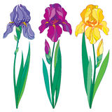 Vector set with outline purple, lilac and yellow Iris flower, bud and leaves isolated on white. Ornate flowers for spring design Royalty Free Stock Photo