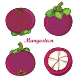 Vector set with outline Purple Mangosteen or Garcinia mangosteen fruit and half fruit isolated on white background. Exotic tropical plant in contour style for Royalty Free Stock Image