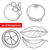 Vector set with outline Purple Mangosteen or Garcinia mangosteen fruit and leaf in black isolated on white. Exotic fruit. Vector set with outline Purple stock illustration