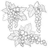 Vector set with outline Red currant bunch, berry and leaves in black isolated on white background. Floral element with redcurrant. Vector set with outline Red royalty free illustration