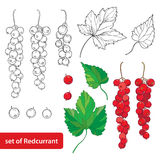 Vector set with outline Red currant, bunch, berry and leaves in black and red isolated on white background. Stock Image