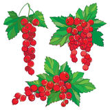 Vector set with outline Red currant, bunch, ripe red berry and green leaves isolated on white background. Ornate floral element. Stock Photography