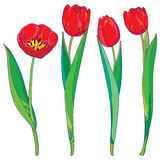 Vector set with outline red tulips flowers and green leaves isolated on white. Template with floral elements for spring design. Stock Images