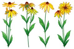 Vector set with outline Rudbeckia hirta or black-eyed Susan flower bunch, ornate green leaf and bud in yellow isolated on white. Vector set with outline stock illustration