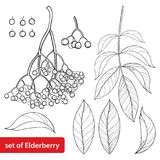 Vector set with outline Sambucus nigra or black elder or elderberry, bunch, berry and leaves isolated on white background. Drawing of elderberry in contour stock illustration