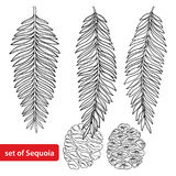 Vector set with outline Sequoia or California redwood in black isolated on white background. Coniferous tree with pine and cone. Stock Images