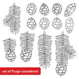 Vector set with outline Tsuga or Canadian hemlock in black isolated on white background. Coniferous tree Hemlock with pine, cone. Vector set with outline Tsuga Royalty Free Stock Photos