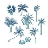 Vector set of palm. Different kinds of tropical trees and coconut. Contour sketch illustration isolated on white. Background royalty free illustration