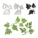 Vector set of parsley on a white background Stock Images