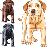 Vector set puppy dog breed Labrador Retriever. Vector set cute puppy dog breed Labrador Retriever of different colors: chocolate, yellow and black Stock Photography