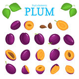 Vector set of purple fruits. Plum fruit, whole, peeled, piece  half, slice leaves, seed. Collection  delicious red plums Stock Photos