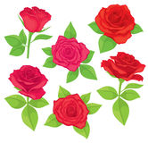 Vector set of realistic, detailed, isolated Rose buds in red color with green leaves on white background. Royalty Free Stock Photography