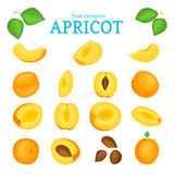 Vector set of ripe apricots fruits. Apricot fruit, whole, peeled, piece  half, slice leaves, seed. Collection  delicious Royalty Free Stock Photos