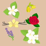 Vector set of six flowers and plants for aromatherapy. Vector set of six flowers and plants, such us orange, canananga, rose, vanilla, lavender, jasmine for Royalty Free Stock Images