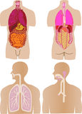Vector set  a stomach of a gut a liver Stock Photography