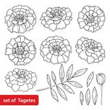 Vector set with Tagetes or Marigold flower, bud and leaf in black isolated on white background. Ornate Tagetes flowers in lineart. Stock Photos