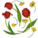 Vector set of tulips Royalty Free Stock Photo