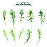 Vector set of watercolor arugula herbs Royalty Free Stock Photo