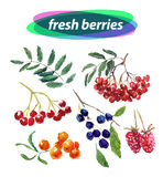 Vector set of watercolor berries elements on white background. Stock Photography
