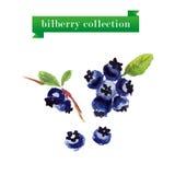 Vector set of watercolor bilberries Royalty Free Stock Photo