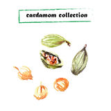 Vector set of watercolor cardamom elements Royalty Free Stock Photography