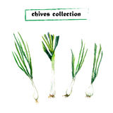 Vector set of watercolor chives elements. Herbs collection Royalty Free Stock Images
