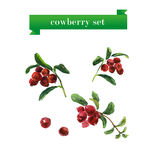 Vector set of watercolor cow berries on white background. Stock Photo