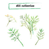 Vector set of watercolor fennel elements. On white background. Dill set Royalty Free Stock Image