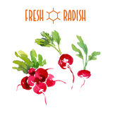 Vector set of watercolor radish Stock Photography