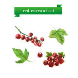Vector set of watercolor red currant Royalty Free Stock Photo