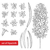 Vector Set With Outline Hyacinth Flower Bunch, Bud Stock Photos