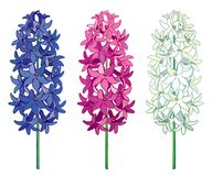 Vector Set With Outline Hyacinth Flower Bunch In Blue, White And Pink Color Isolated On White Background. Fragrant Bulbous Plant. Royalty Free Stock Image