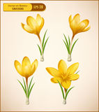 Vector set of yellow crocuses Royalty Free Stock Photography