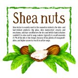 Shea nuts with leaves in vector. Stock Photography