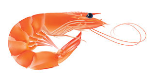Vector Shrimp, Seafood. Prawn With head and legs. Illustration isolated on white background Royalty Free Stock Image