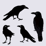 Vector silhouette of a crows in different positions. Royalty Free Stock Image