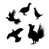 Vector silhouettes of a grouse. Grouse icons and silhouettes. Set of illustrations in different poses Stock Photos